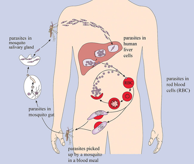 lifecycle of malaria parasite