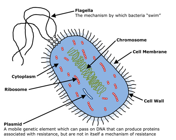 Anatomy of a bacterium - Flagella