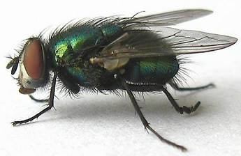 green bottle fly carries Wohlfahrtiimonas chitiniclastica
