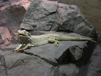 Salmonella bearded dragon